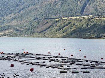 (CIPER Chile) Nuevo escape de salmones en Los Lagos: un problema político